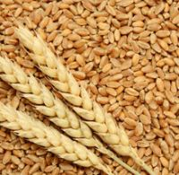 Quality Wheat / Durum Wheat / Milling Wheat