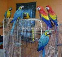 Congo African Greys, Macaws and Senegal Parrots