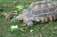 Marginated, Aldabra and Sulcata Tortoises