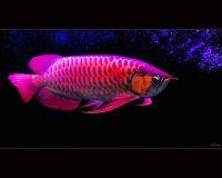 RED AROWANA FISH FOR SALE