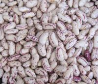 Sugar Beans /Pinto Beans for sale