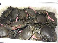 Live mud crab from Tanzania