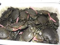 Live mud crabs from Tanzania