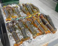 Good Quality Frozen seafood Canadian lobster