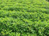 arabica green coffee beans for wholesale