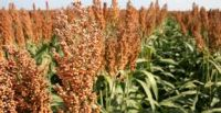 Best Grade Sorghum/Sorghum Grain Meal