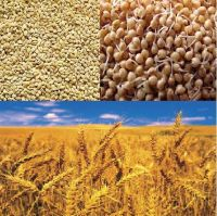 Good Quality Cereal Grain / Wheat / Millet / Flour/ Barley