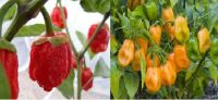 7-Pot Chili Pepper Red and Yellow