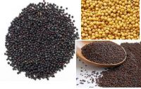 Black, Yellow and Brown Mustard Seeds