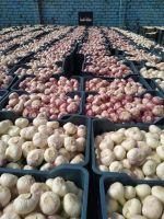 Fresh Garlic : (White , Red)