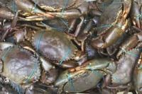 Affordable Fresh Live Mud Crab
