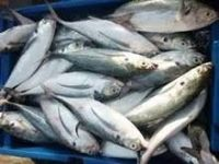 Frozen Mackerel Fish (Jack/Horse/Pacific/Atlantic )