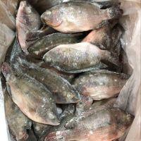 Frozen Seafood Whole Tilapia Fish