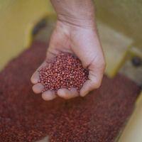 100% natural color bulk red Grain Sorghum For Sale