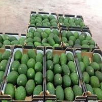 Premium Fresh Fuerte/Hass Avocados for sale/Fresh Avocado Fruits