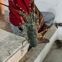 Live and Fresh Spiny Lobsters Rock Lobsters Ornate Lobsters Flower Lobsters