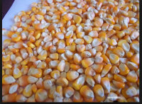 Yellow Corn, White Corn For Animal Feed
