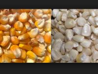 Yellow Corn, White Corn, Maize, Dried Corn, Sweet Corn