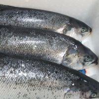 Excellent flavor healthy food fresh pink fish Frozen Salmon