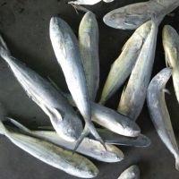 Best Quality Whole Frozen Mahi Fresh Fish