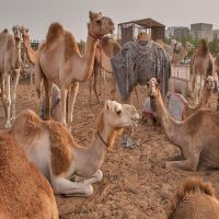 Healthy certified alive camel for sale