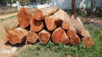 MASSIVE FOREST TEAK WOOD