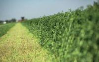 Best quality Alfafa Hay For Animal feeding stuff Alfalfa / alfalfa hay / alfalfa hay for sale