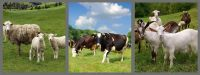 Boer Goats, Holstein heifers, Cows, Camels, Sheeps, Horse, Boer .Goats Available