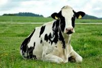 Holstein Cows Avialable