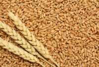 Wheat for human and animal feed production