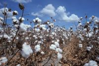 Cotton seed for exportation