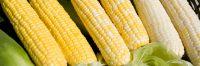 Quality Corn for sale NON GMO