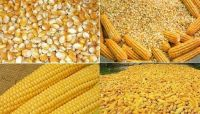 Yellow Corn/ Maize for Human Consumption and Animal Feed for sale