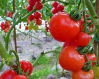 Red Round Indeterminate Tomato Seed FST 076