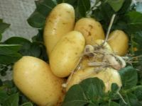 Fresh Potatoes Supplier