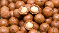 Raw Macadamia nuts with shell and Without shell