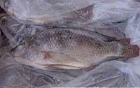 Frozen Tilapia, Frozen Ribbon Fish, Frozen Pacific Mackerel, Frozen Sardine Fish