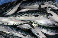 Fresh Frozen Mackerel fish, Sardine, Salmon fish, tuna, tilapia, mackerel, shrimps, Ribbon sea food, meal, cuttlefish, meat, shrimps