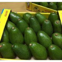 Fresh Avocados ( Hass / Fuerte ) Cheap Price