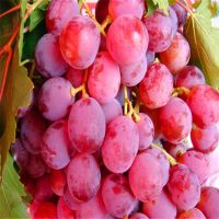 Fresh Grapes/Black Grapes/Sharad Seedless Grapes