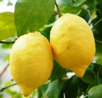 Fresh Organic and common Cultivation Type fresh lemons and citrus all.