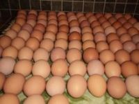chicken eggs, table eggs, fertilized hatching eggs, white egg, brown egg, egg