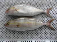 Burikichi Yellowtail Round Seafood Fish with Best Price