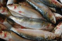 Frozen Sardine Fish - Frozen Sardine Fish Export Quality