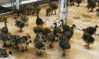 Ostrich Chicks & our prices are very moderate to our clients