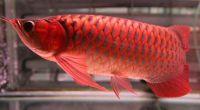 Super red arowana fish for sale