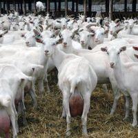 Saanen Goats for sale
