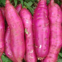 Sweet potato, fresh sweet potato in season, good price