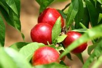Quality Fresh Nectarines Now Available on Sale. 30% Discount