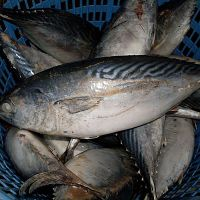 High Grade Bonito Tuna suppliers
